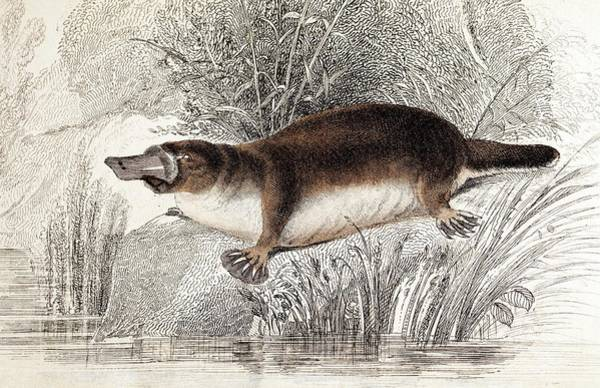 Australian Wildlife Wall Art - Photograph - Duck-billed Platypus by Paul D Stewart