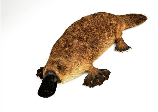 Laying Out Photograph - Duck-billed Platypus by Ucl, Grant Museum Of Zoology