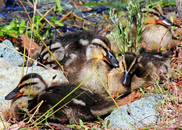 Photograph - Duck Dynasty Ducklings by Tap On Photo