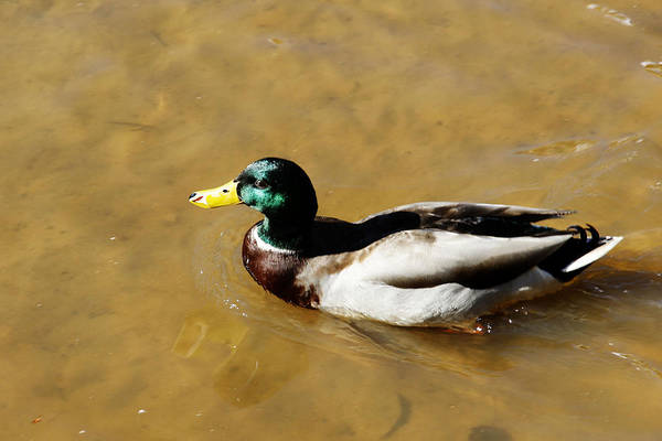Wall Art - Photograph - Duck by Frank Savarese