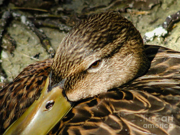 Photograph - Duck by George DeLisle