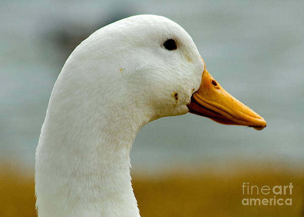 Photograph - Duck Head by Mae Wertz