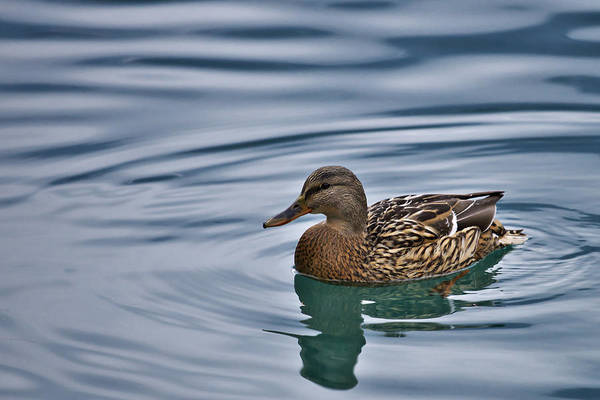 Photograph - Duck by Ivan Slosar