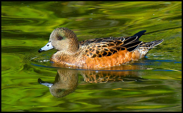 Photograph - Young Female Mallard Duck by Ginger Wakem