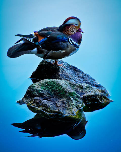 Wall Art - Photograph - Duck On Blue by Ron Plasencia