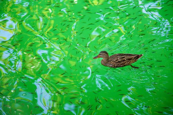 Duck Meat Photograph - Duck On Green Water by Martin Joyful