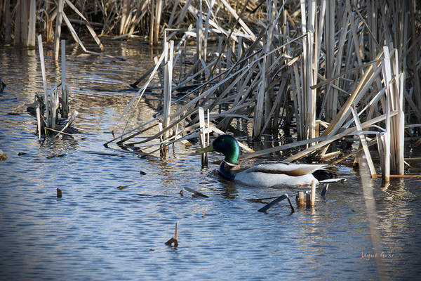 Horicon Marsh Photograph - Duck Paddle by Jayne Gohr