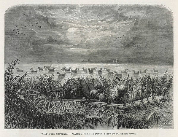 Duck Hunting Drawing - Duck Shooting With Decoys, Hoping by Mary Evans Picture Library