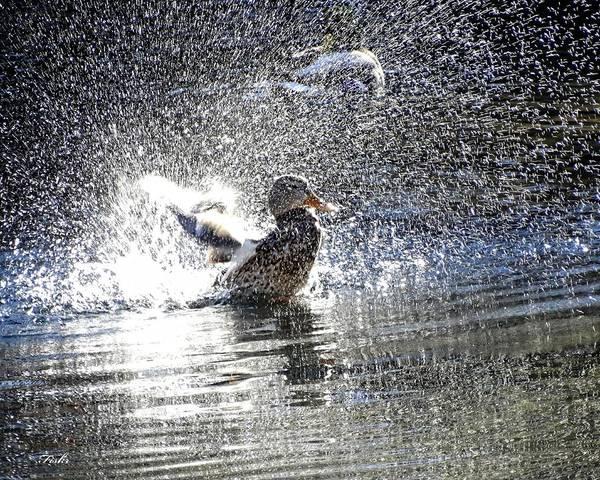 Photograph - Duck Shower by Fiskr Larsen