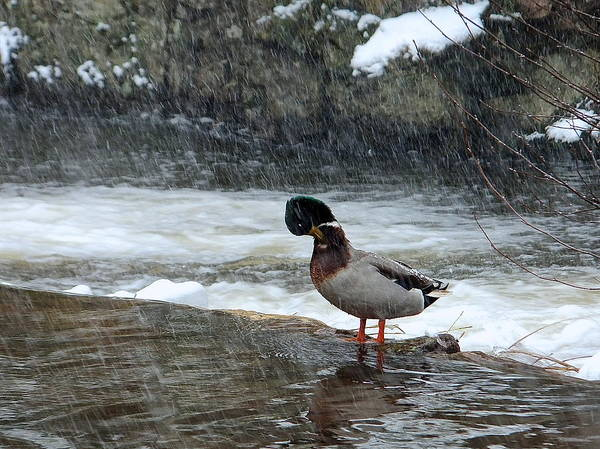 Photograph - Duck Standing In Cold Water by Marc Philippe Joly