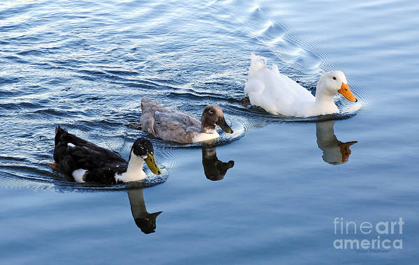 Photograph - Duck Trio Reflecting by Susan Wiedmann