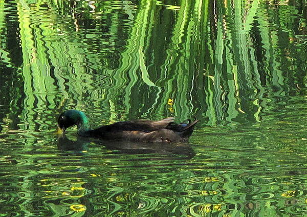 Photograph - Ducking By The Irises by Suzy Piatt