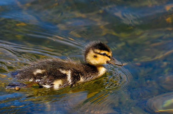 Photograph - Duckling by Don and Bonnie Fink