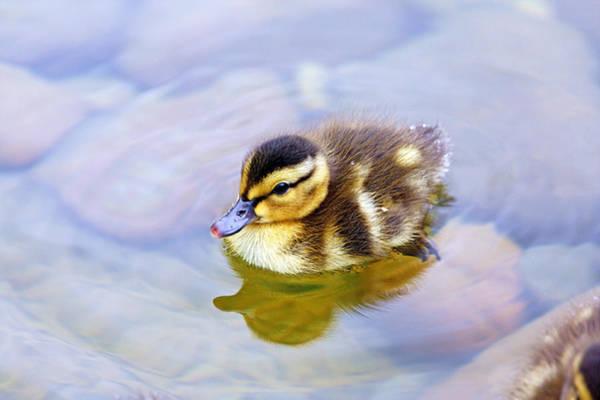 Duck Meat Photograph - Duckling by Evan Peller