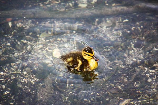 Chicken Feet Photograph - Duckling  by Jeff Tuten