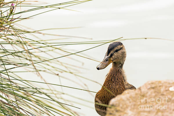 Photograph - Duckling by Kate Brown