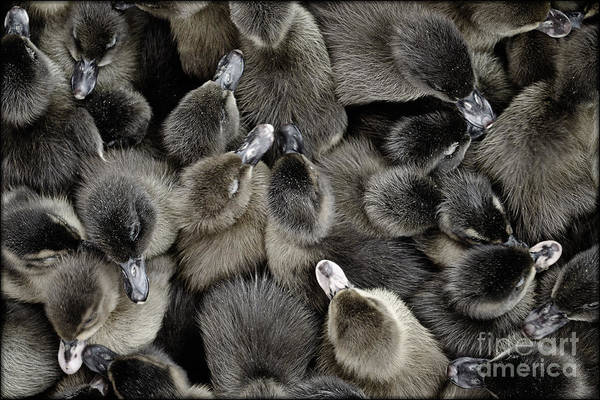 Photograph - Ducklings by Michael Arend