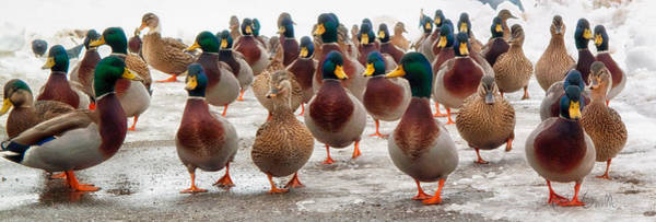 Marching Photograph - Duckorama by Bob Orsillo