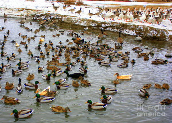 Photograph - Ducks And Geese On Winter Pond by Carol Groenen