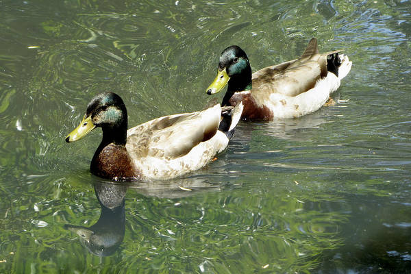 Photograph - Ducks by Bob Slitzan
