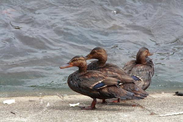 Kalamazoo Photograph - Ducks Covered In Oil by Jim West