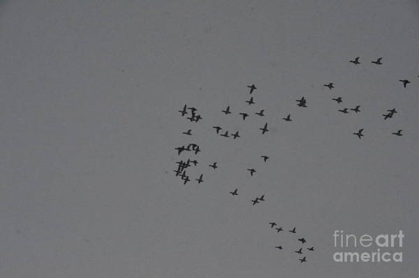 Photograph - Ducks Fly High Overhead by Randy J Heath