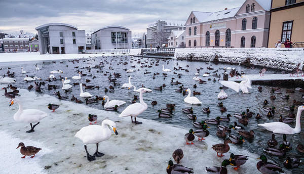 Reykjavik Photograph - Ducks, Geese And Swans At Frozen Lake by Ed Norton
