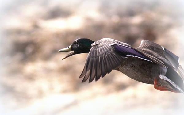 Greenhead Photograph - Ducks Have Teeth - Mallard by Travis Truelove