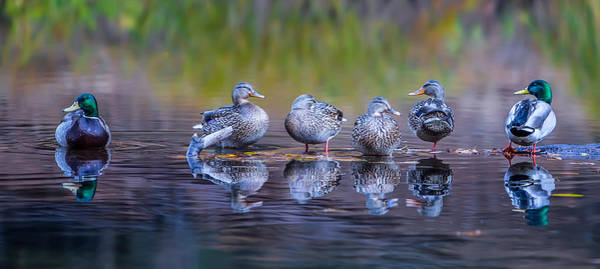 Duck Photograph - Ducks In A Row by Larry Marshall