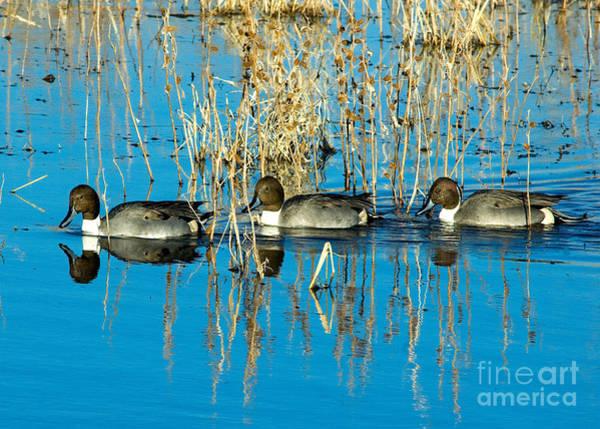 Photograph - Ducks In A Row by Mae Wertz