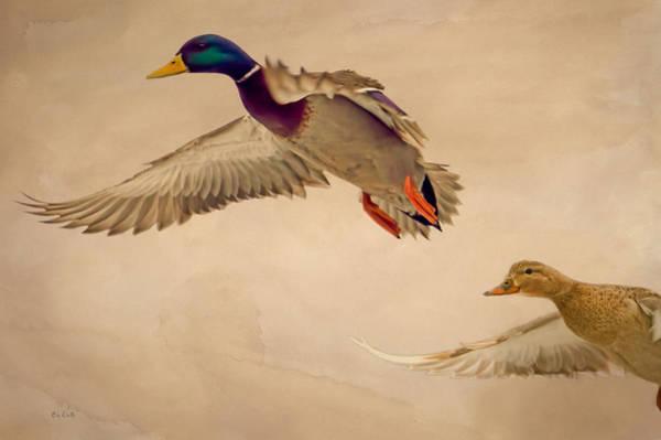 Photograph - Ducks In Flight by Bob Orsillo