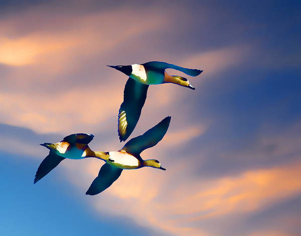 Photograph - Ducks In Flight by Ron Roberts