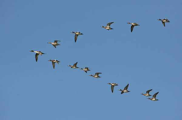 Wall Art - Photograph - Ducks In Formation by Anthony Mercieca