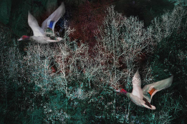 Photograph - Ducks In Trees West Fork Number Two by Bob Coates