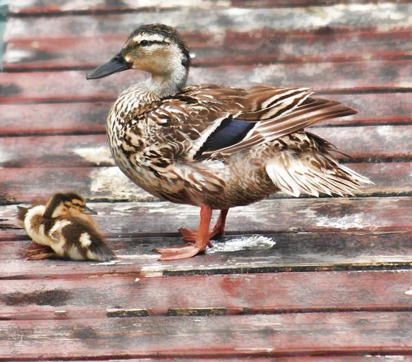 Mixed Media - Ducks by Pamela Walton
