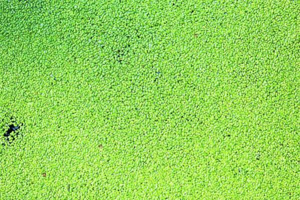 Aquatic Plants Photograph - Duckweed by Wladimir Bulgar