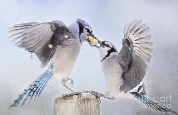 Photograph - Dueling Jays by Pam  Holdsworth