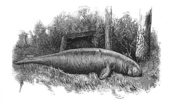Manatee Photograph - Dugong, Sea-cow by British Library