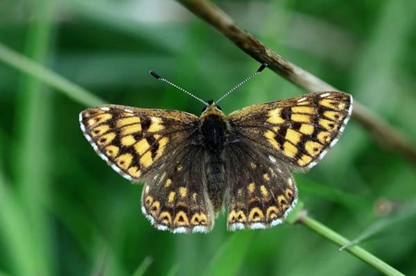 Duke University Photograph - Duke Of Burgundy Butterfly by Colin Varndell