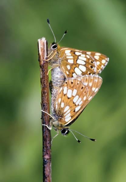 Duke University Photograph - Duke Of Burgundy Fritillary Butterflies by John Devries/science Photo Library
