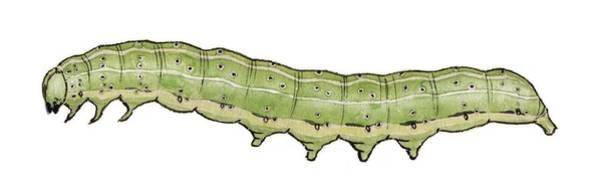 Dun Photograph - Dun Bar Caterpillar by Mikkel Juul Jensen