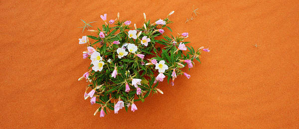 Valley Of Fire Photograph - Dune Evening Primrose Flowers In Sand by Panoramic Images
