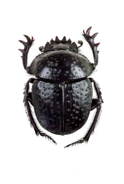 Coleoptera Photograph - Dung Beetle by F. Martinez Clavel