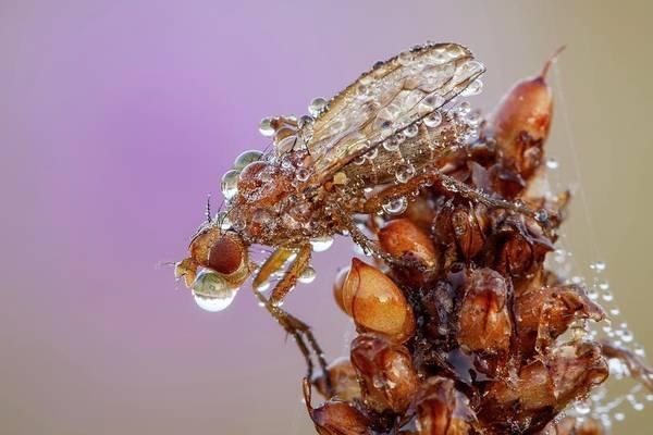 Arthropods Wall Art - Photograph - Dung Fly by Heath Mcdonald