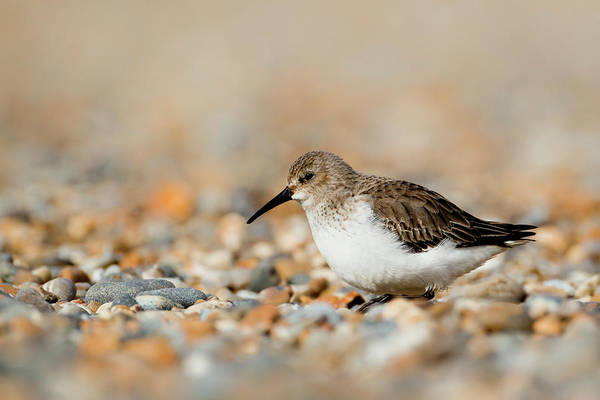 Dunlin Photograph - Dunlin Calidris Alpina by Andrew Sproule