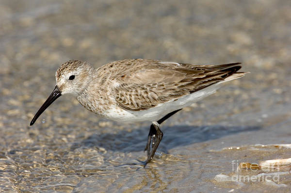 Dunlin Photograph - Dunlin Calidris Alpina In Winter Plumage by Anthony Mercieca