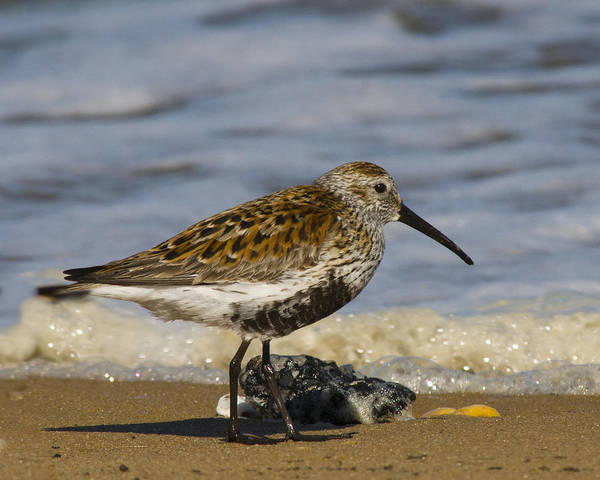 Dunlin Photograph - Dunlin On The Beach At Port Mahon by Deb Breton