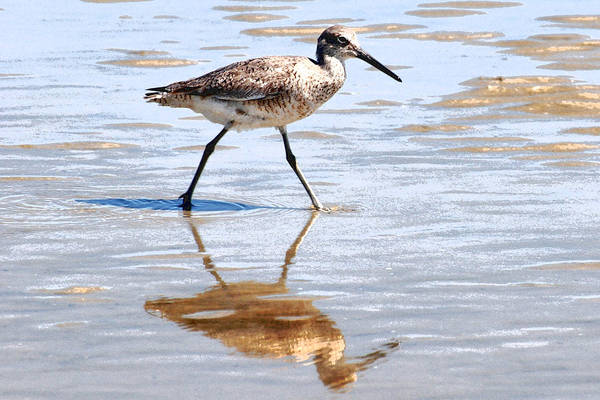 Photograph - Dunlin On The Shore by Peter DeFina