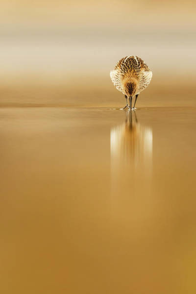 Wall Art - Photograph - Dunlin Reflection by Mario Su?rez