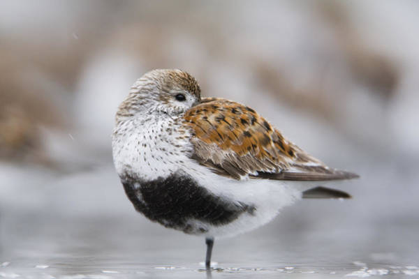 Dunlin Photograph - Dunlin Roosting With Western Sandpipers by Milo Burcham